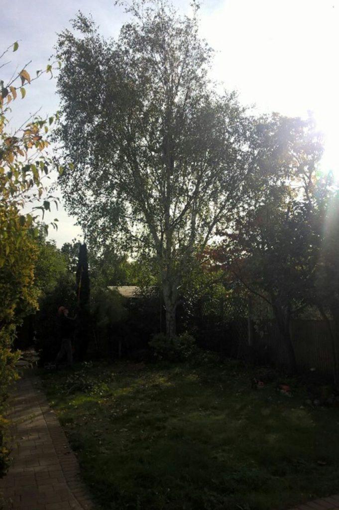 silver birch pruning