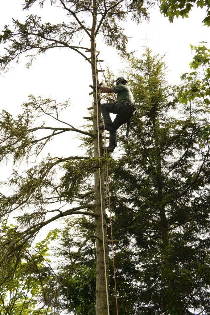 tree surgeon abseiling tree