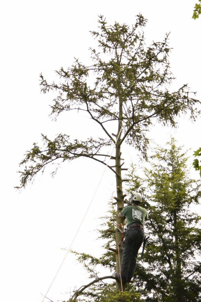 tree surgeon cutting down tree in bromley